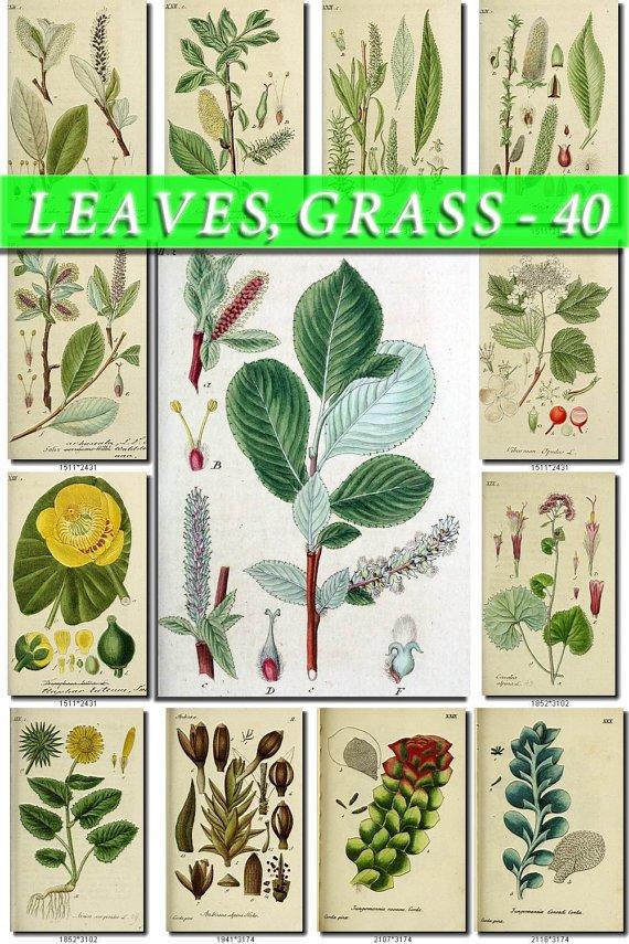 LEAVES GRASS-40 240 vintage print
