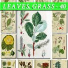 LEAVES GRASS-40 240 vintage print
