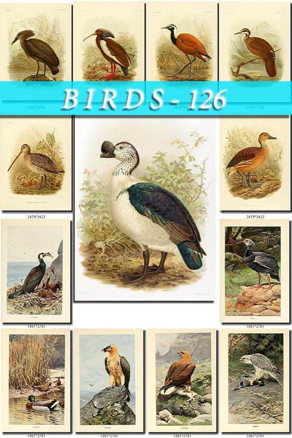 BIRDS-126 57 Flamingo Eagles Goose Ducks Rail Plover Ostrich Apteryx