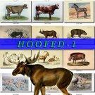 HOOFED UNGULATES-1 54 vintage print