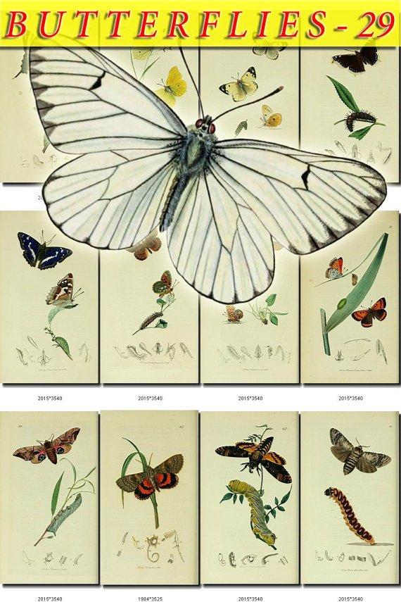 BUTTERFLIES-29 115 vintage print