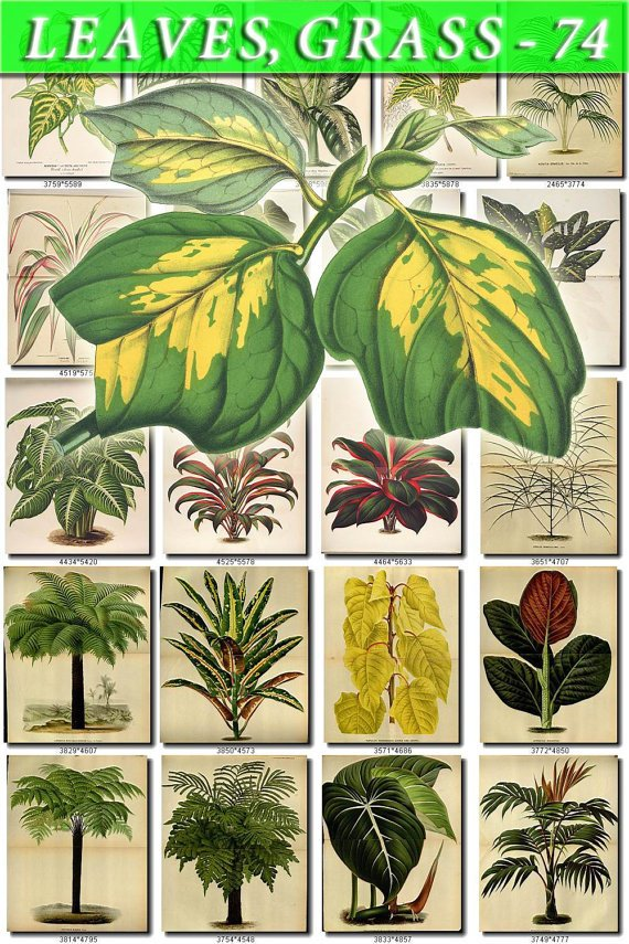 LEAVES GRASS-74 333 vintage print