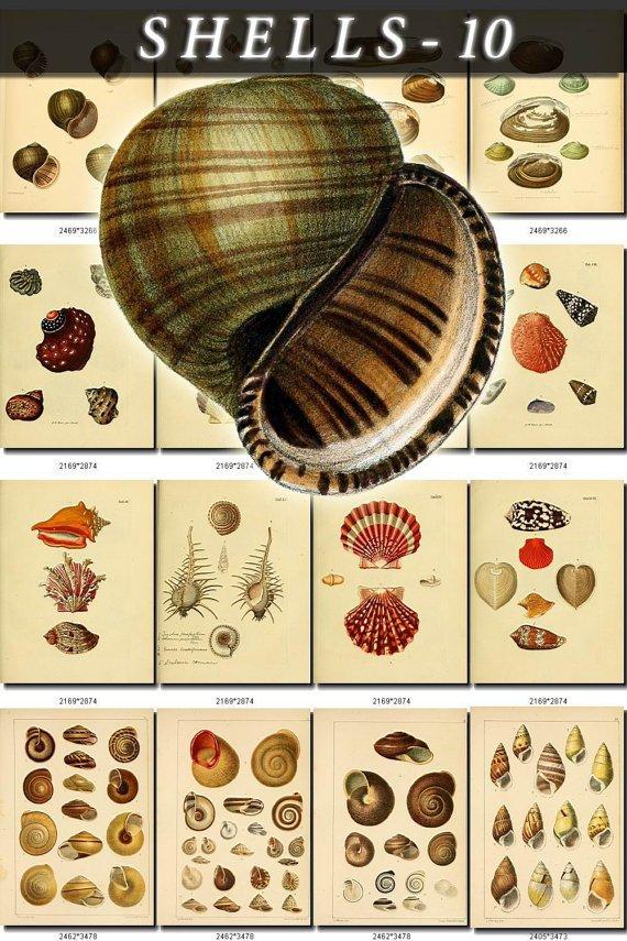 SHELLS-10 232 vintage print