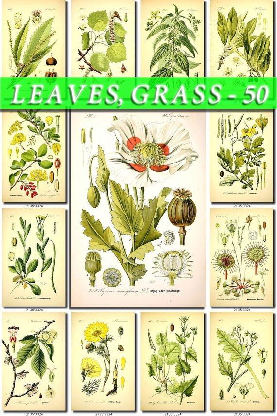 LEAVES GRASS-50 160 vintage print