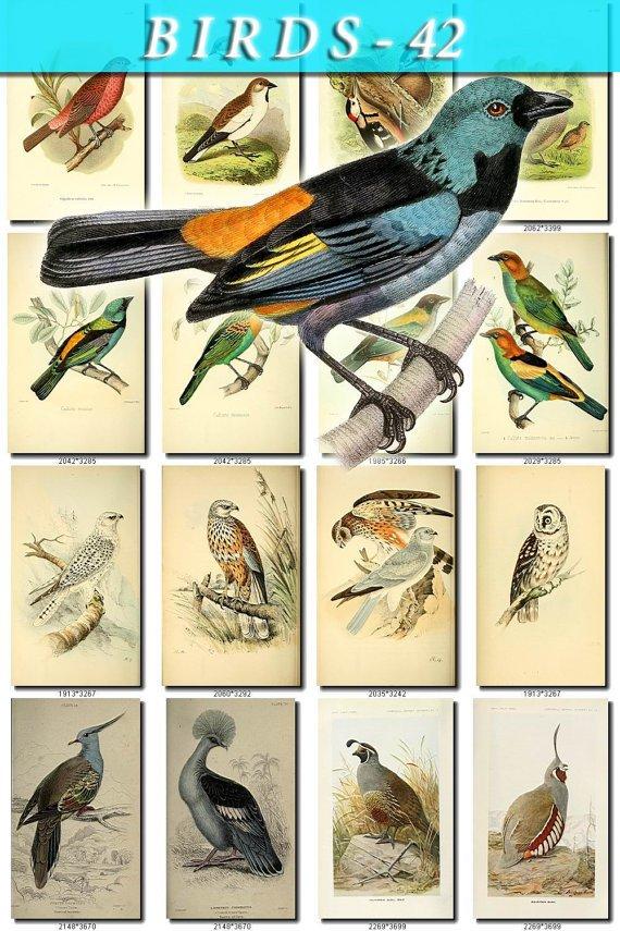 BIRDS-42 192 vintage print