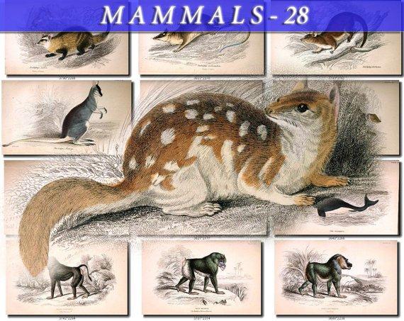 MAMMALS-28 80 vintage print