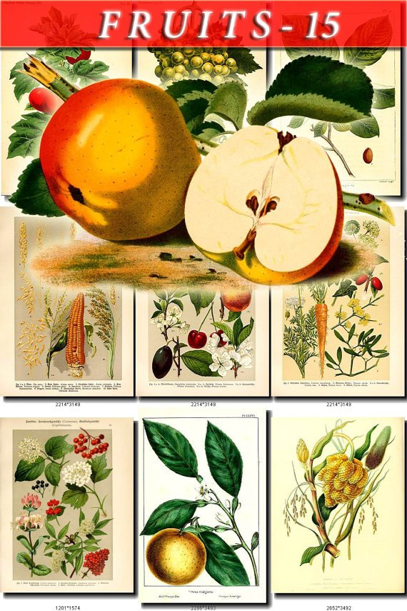 FRUITS VEGETABLES-15 65 vintage print