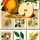 FRUITS VEGETABLES-15 65 vintage print