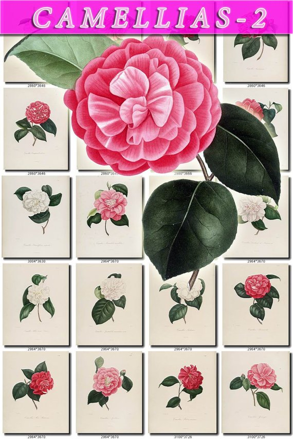CAMELLIAS-2 flowers 100 vintage print