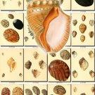 SHELLS-7 145 vintage print