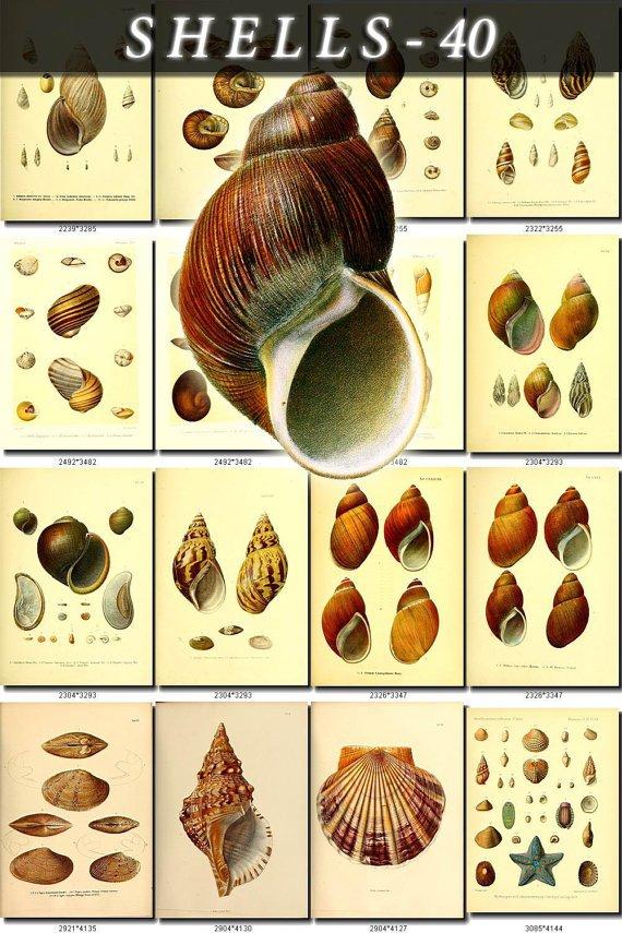 SHELLS-40 148 vintage print