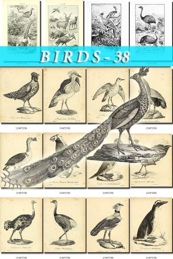 BIRDS-38-bw 250 black-, -white vintage print