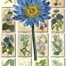 BLUE-2 FLOWERS 240 vintage print