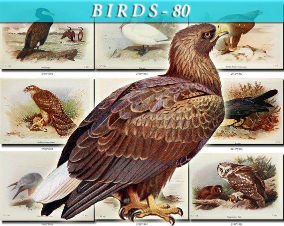 BIRDS-80 175 vintage print