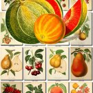 FRUITS VEGETABLES-16 52 vintage print