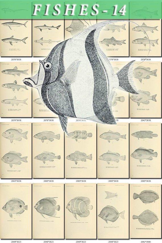 FISHES-14-bw 392 black-, -white vintage print