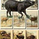 HOOFED UNGULATES-3 56 vintage print
