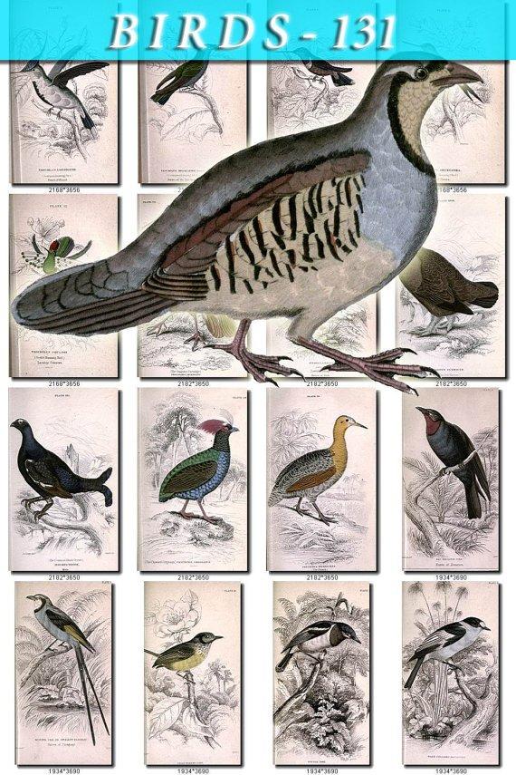 BIRDS-131 75 Hummingbirds Partridge Piha Grouse Tody Flycatcher vintage print