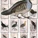 BIRDS-131 75 Hummingbirds Partridge Piha Grouse Tody Flycatcher vintage print