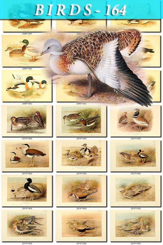 BIRDS-164 288 vintage print