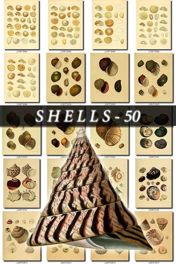SHELLS-50 250 vintage print