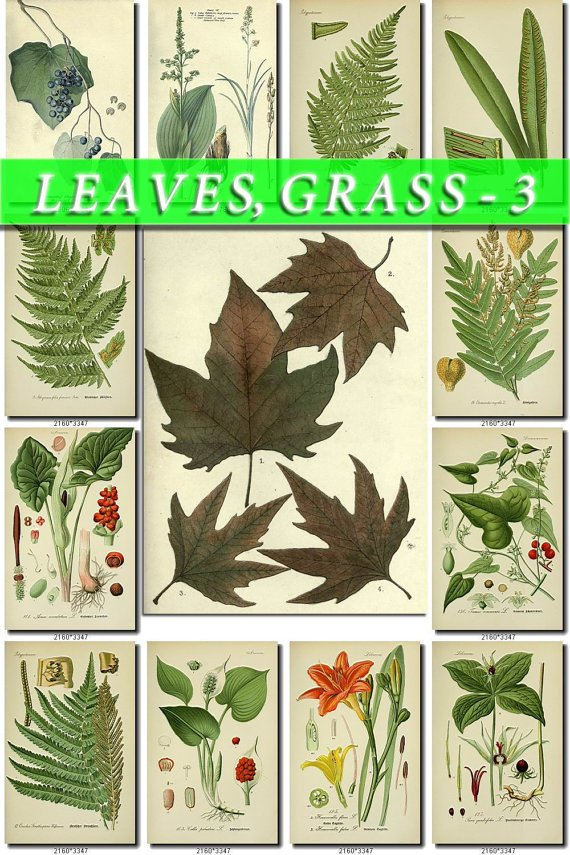 LEAVES GRASS-3 219 vintage print