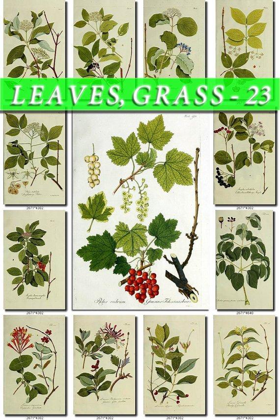 LEAVES GRASS-23 214 vintage print