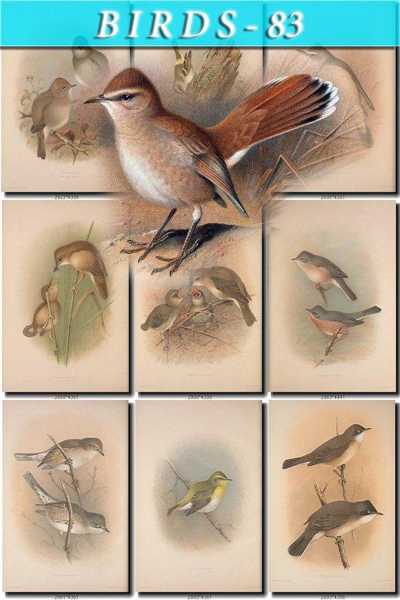 BIRDS-83 80 vintage print