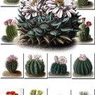 CACTUS-1 flowers 176 Cacti Cactaceae vintage print