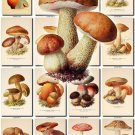 MUSHROOMS-4 297 vintage print