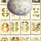 BIRDS EGGS-1 319 nests heads vintage print
