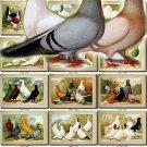 PIGEONS-2 birds 100 pictures vintage print