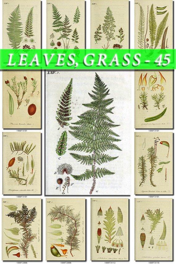 LEAVES GRASS-45 192 vintage print