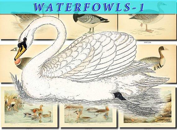 WATERFOWLS-1 Birds 54 vintage print