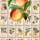 FRUITS VEGETABLES-17 114 vintage print