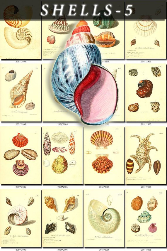 SHELLS-5 292 vintage print