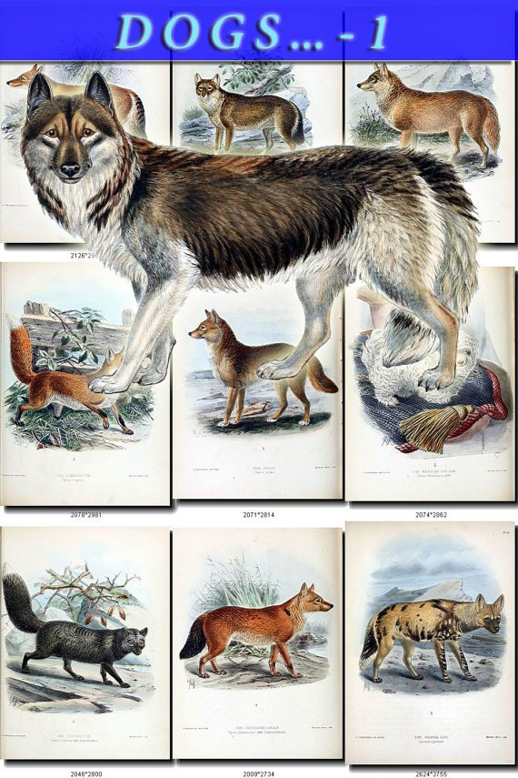 DOGS WOLVES FOXES-1 68 vintage print