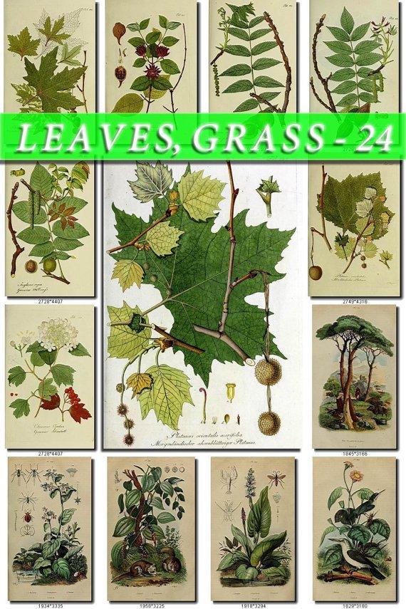 LEAVES GRASS-24 209 vintage print