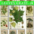 LEAVES GRASS-24 209 vintage print