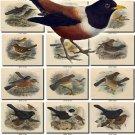 BIRDS-167 149 vintage print