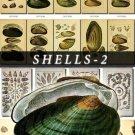SHELLS-2 217 vintage print
