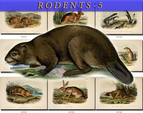 RODENTS-5 51 vintage print