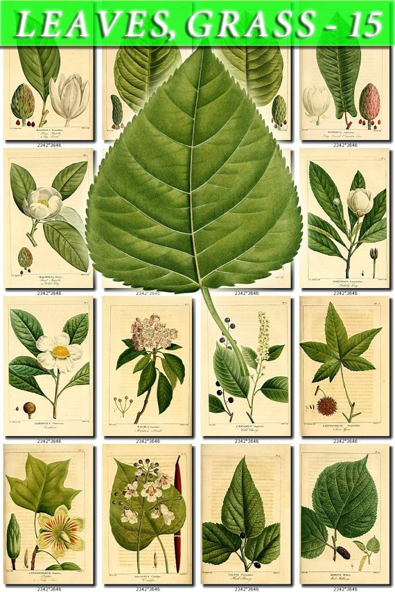 LEAVES GRASS-15 251 vintage print