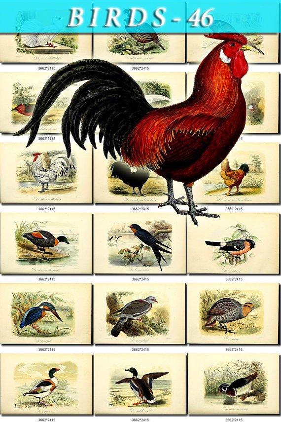 BIRDS-46 68 vintage print