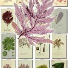 ALGAE-1 80 seaweeds vintage print