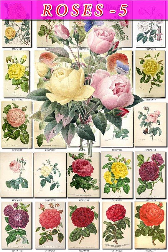 ROSES-5 155 beautiful vintage print