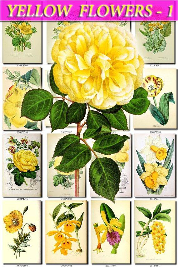 YELLOW-1 FLOWERS 165 vintage print