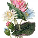 BEAUTIFUL FLOWER-010 Lotus vintage print