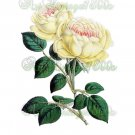 BEAUTIFUL FLOWER-008 Yellow Tea Rose vintage print