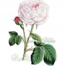 BEAUTIFUL FLOWER-011 Rose vintage print